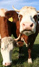 Hohenlohe Qualitätsfleisch - Rind aus gutem Stall