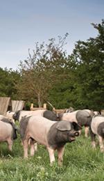 Schwäbisch-Hällische Landschweine